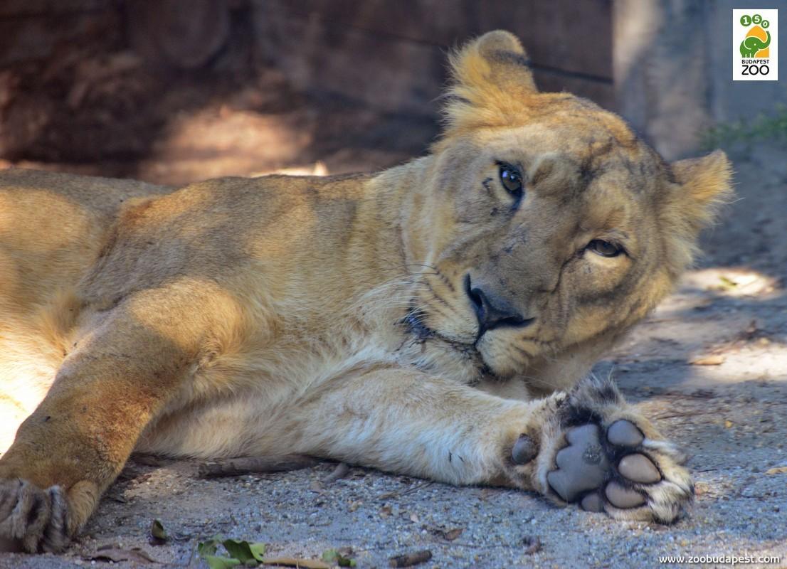 Az oroszlánokat a legtöbb ember afrikai állatként ismeri, pedig a faj  elterjedési területe a múltban Délkelet-Európát, a Közel-Keletet és  Dél-Ázsiát is magába foglalta, és India egy védett területén mind a mai  napig élnek oroszlánok: ilyen ritka indiai oroszlánok láthatók a mi  Állatkertünkben is